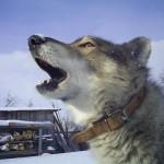 Гадание по собачьему лаю