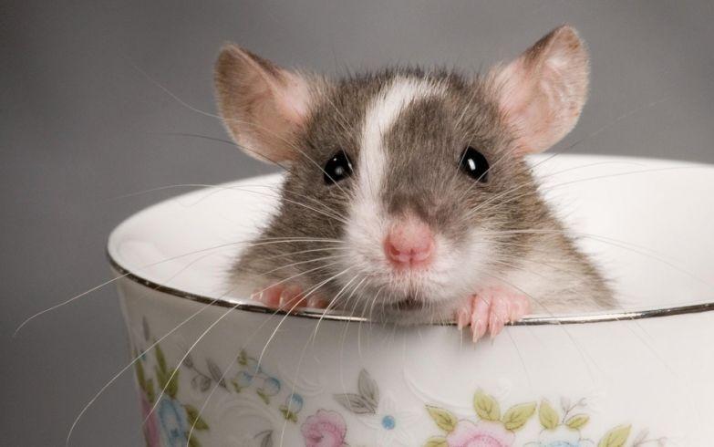 Крыса в чашке